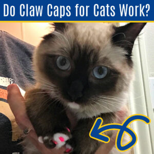 Siamese cat wearing pink claw caps on it's nails.